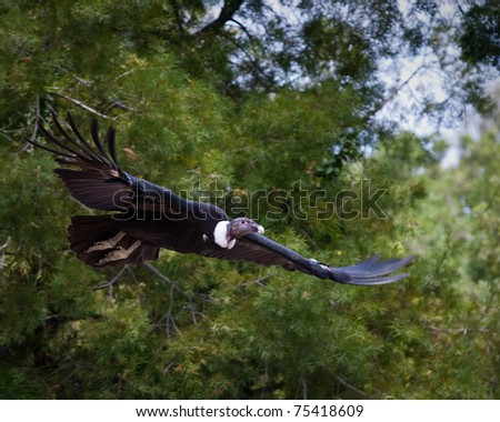 Vulture in captivity at a zoo - stock photo