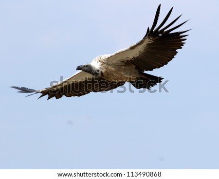 Vulture in flight - stock photo