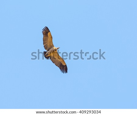 Vulture in flight overhead against a blue sky in Africa - stock photo