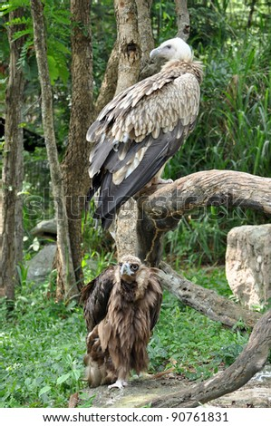 Vulture is the name given to two groups of convergently evolved scavenging birds,
