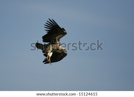 Vulture Landing a Kill Site to Feed - stock photo