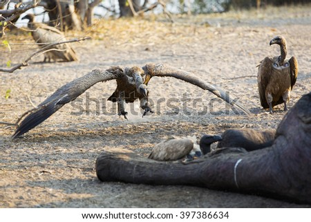 Vultures eating a dead elephant in Africa flying - stock photo