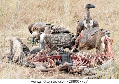 Vultures feed on wildebeest carcass