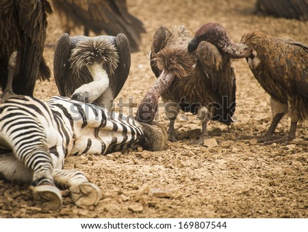 Vultures feeding on a kill, Masai Mara National Park, Kenya  - stock photo