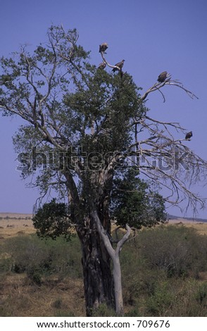 Vultures in tree - Maasai Mara, Kenya