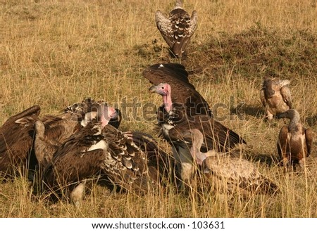 vultures on a kill 2,04 - stock photo
