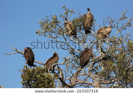 Vultures rest in a tree. - stock photo