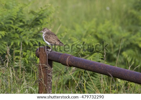 Wading Bird, common sandpiper (Actitis hypoleucos) perched on a post.