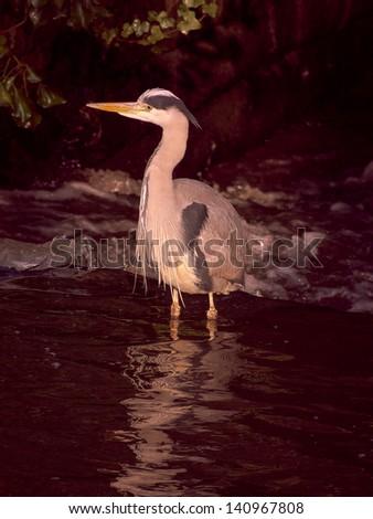 Wading Heron - stock photo