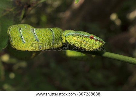 Waglers Pit Viper, a green tree snake from Borneo, Malaysia - stock photo
