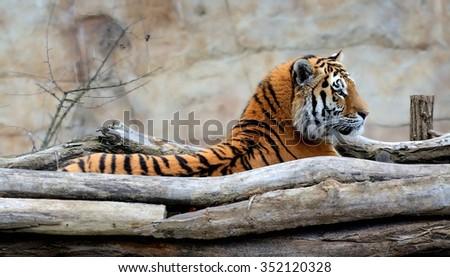 Waking up Siberian Tiger (Panthera tigris altaica) - stock photo