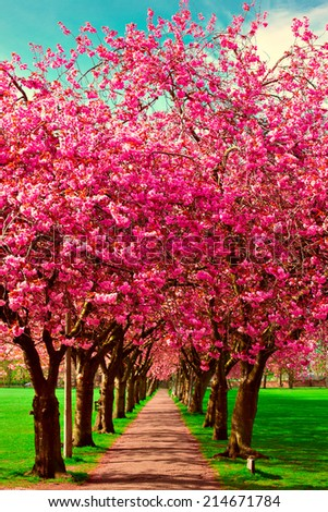 Walk path surrounded with blossoming plum trees at Meadows park, Edinburgh  - stock photo