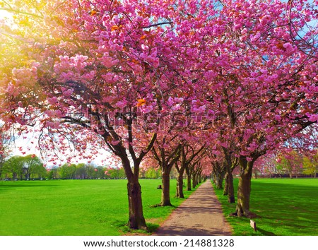 Walk path surrounded with blossoming plum trees at Meadows park, Edinburgh. Colorful spring landscape
