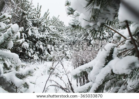 walk through the winter forest - stock photo