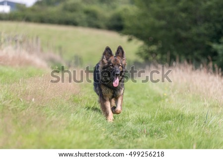 Walking a big dog through long grass in the countryside on a daily walk.