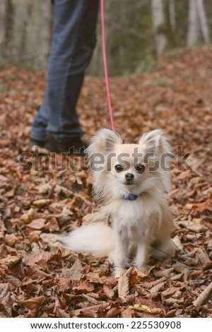 Walking a longhair chihuahua in autumn forrest on a leash - stock photo