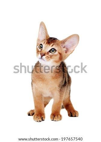 Walking abyssinian kitten front view