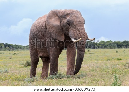 Walking African Elephant (Loxdonta) with leathery, textured skin