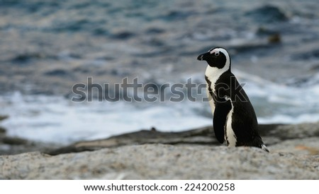 Walking  African penguin (spheniscus demersus) at the Boulders in twilights. South Africa - stock photo