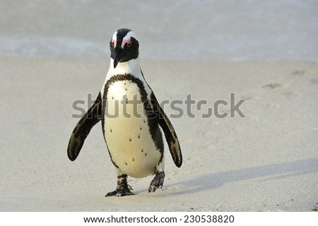 Walking African penguin (spheniscus demersus) with footprint on the sand. Boulders colony in Cape Town, South Africa.  - stock photo