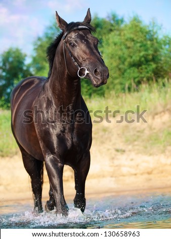 walking beautiful black horse in the lake. sunny day