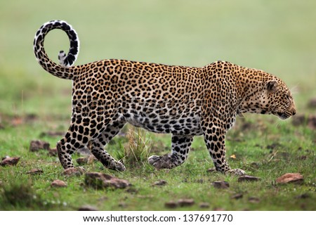 Walking big Leopard in Masai Mara, Kenya - stock photo