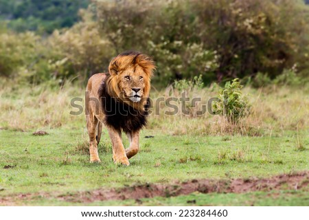 Walking big Lion Lipstick of 4 Km Coalition in Masai Mara, Kenya - stock photo