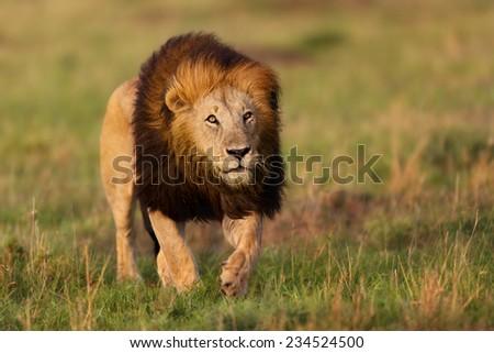 Walking big Lion Notch II in Masai Mara, Kenya - stock photo