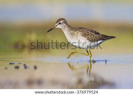 walking bird Wood Sandpiper / Tringa glareola - stock photo