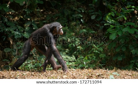 Walking Bonobo  ( Pan paniscus)   portrait. At a short distance, close up.  - stock photo
