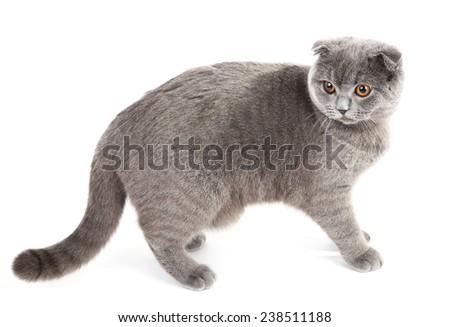 Walking British cat isolated on white - stock photo