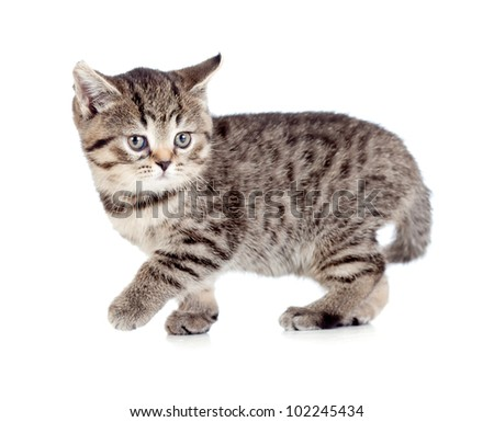 Walking british kitten isolated