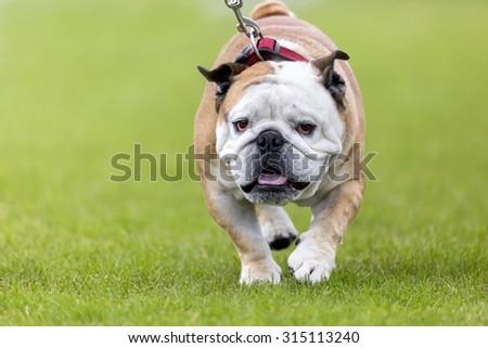 Walking bulldog on green with leash - stock photo