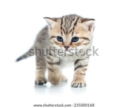 walking cute kitten cat isolated on white