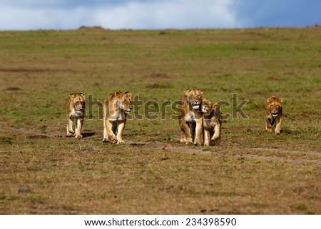 Walking Double Cross Lion Pride in Masai Mara, Kenya - stock photo