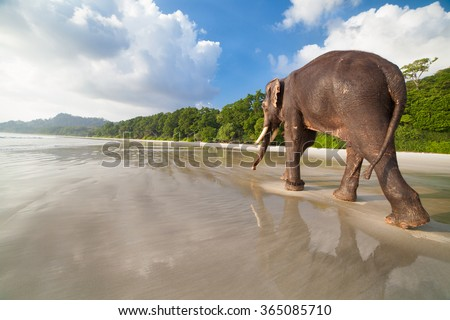 Walking elephant on the tropical beach background. Havelock island, India.