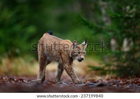 Walking Eurasian Lynx in green forest - stock photo