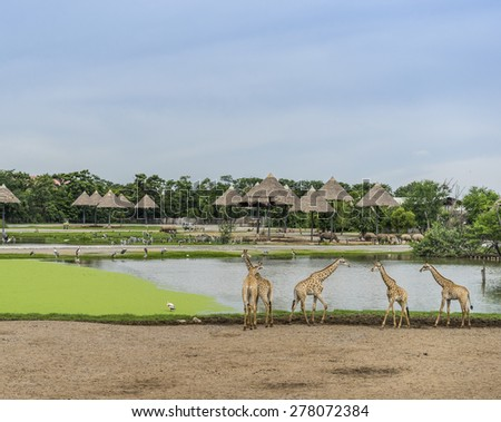 Walking giraffes in open zoo - stock photo