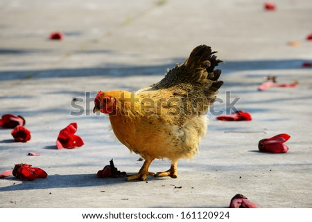 Walking hen in rural area with kapok flowers - stock photo