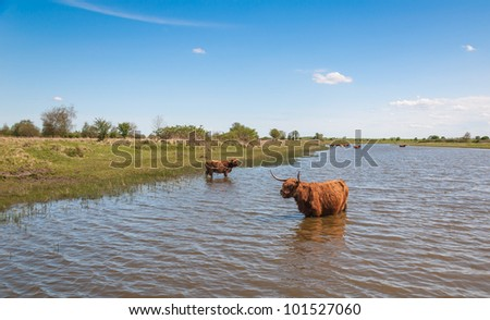 Walking Highland cow in a Dutch nature reserve.