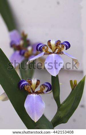 Walking Iris Neomarica caerulea Iridaceae on wall background - stock photo