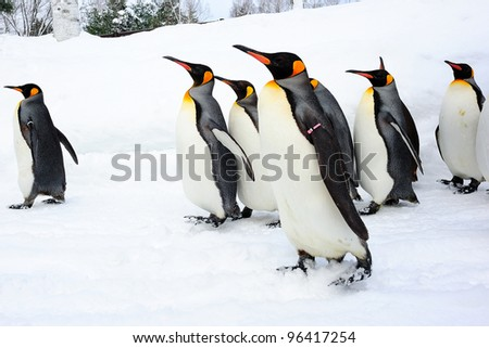 Walking king penguin