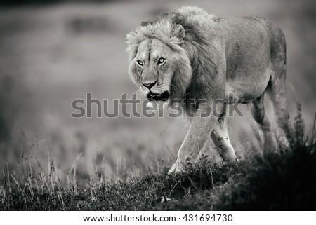 Walking Lion in Masai Mara, Kenya - stock photo