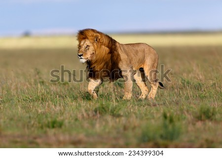 Walking Lion Ron in the beautiful landscape of Masai Mara - stock photo