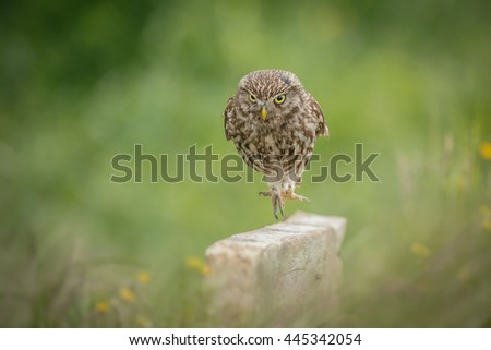 Walking little owl surrounded by buttercups and green trees - stock photo