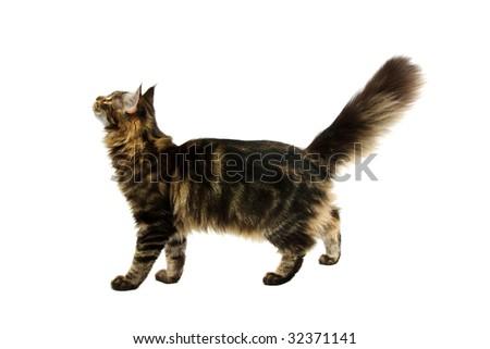 walking maine coon cat isoalated on white background - stock photo