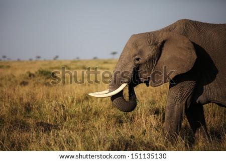 Walking old elephant - stock photo