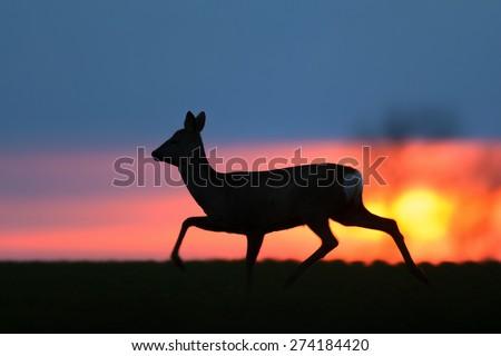 Walking Roe Deer silhouette behind sunset.  - stock photo