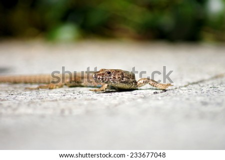Walking salamander moving across bright shining marble floor. - stock photo