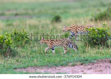 Walking Serval cat cub with mother in the background in Masai Mara, Kenya - stock photo